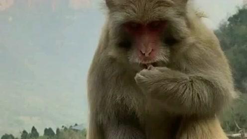 猴哥对花生米情有独钟,就算是被沾上了芥末,它也要舔一口尝一尝!