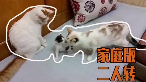 三个喵一台戏,猫爸猫妈围着猫宝转不停?
