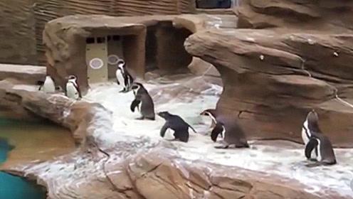 企鹅动物园飞进一只小鸟,小企鹅们疯了,这是我见过跑的最快的企鹅!