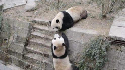 动物园两只大熊猫打架,过程看着真的太刺激了,结局神反转啊