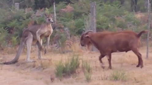 喜欢打架的山羊对上喜欢打架的袋鼠,它们之间会发生什么?