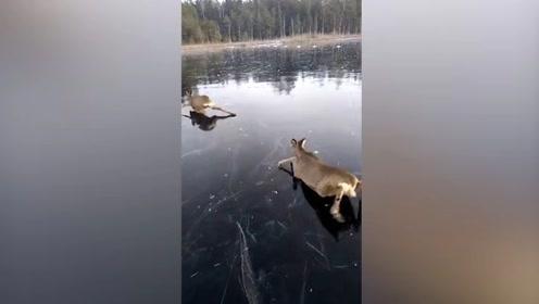 """慌不择""""鹿""""!你见过小鹿在冰面上""""蛙泳""""吗?"""