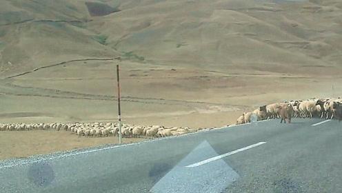 开车进山遇到牧羊人,上千头羊一眼望不到头,这山都是被羊啃秃的吧?