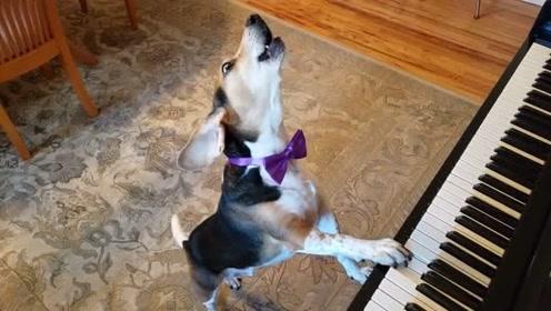 这条狗要成精的节奏,平时看到主人弹琴唱歌,自己就学会了