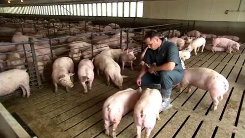 美国人几乎不吃猪肉,为什么却是养猪大国?看完让人恍然大悟!