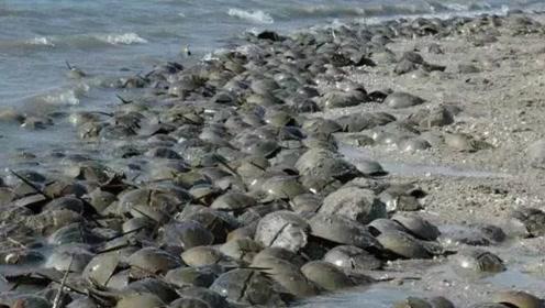 """沙滩上出现大量的""""铁锅盖"""",渔民却不敢靠近,究竟是什么东西?"""