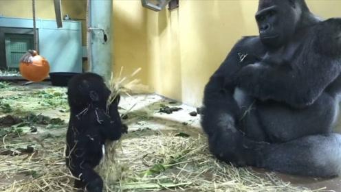小猩猩到爸爸跟前卖萌,猩猩爸爸看到后,反应笑翻了