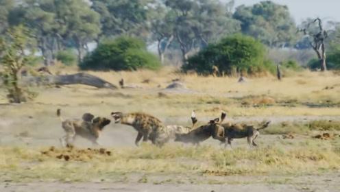 鬣狗被天敌围攻全过程,拼命保护下盘,生怕被对面偷袭!