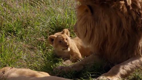 猛兽也温柔,看狮子爸爸细腻带娃,画面超温馨!