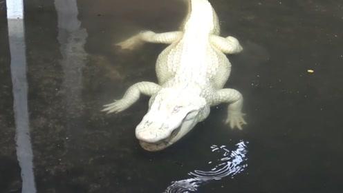 十分罕见的白色鳄鱼,每条身价高达6个亿,一条就价值100辆豪车