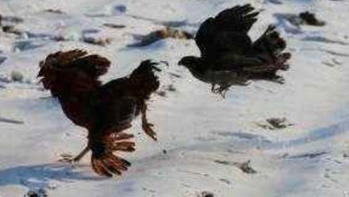 实拍老鹰捉鸡,结局老鹰没想到,老鹰:遇到战斗鸡了?