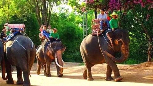为啥去泰国旅游别骑大象?了解其中原因后,让人一阵心酸
