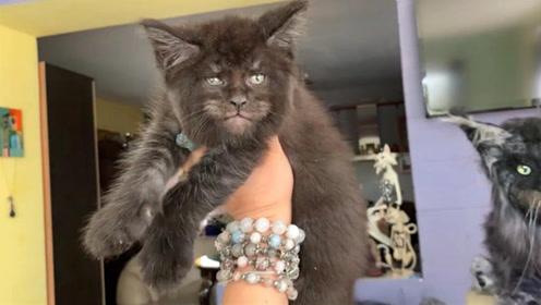 神奇 猫科专家培育出一窝和人脸很像的猫