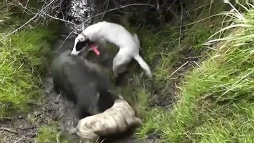 这两头猎狗太牛了,百斤重的大野猪被逼到水沟里,这回它要悲剧了!