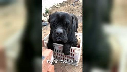 主人要卖小狗,当主人接电话之际,狗狗会将小狗藏起来