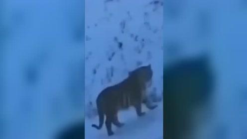 民警出警偶遇野生老虎:都不敢出声,远看还以为是牛