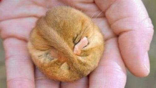 世界上最能睡的生物,一年中9个月都在睡觉,活活把自己给睡死了
