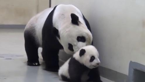熊猫宝宝好不容易出来玩,就这样被熊猫妈妈硬拽回去,瞬间气炸了