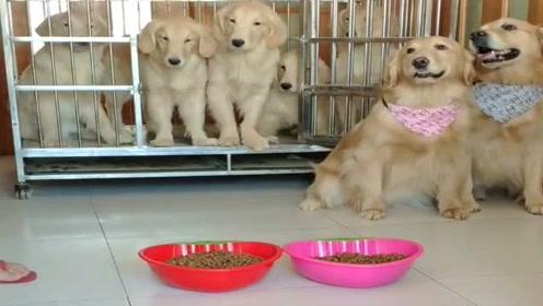 主人给小狗狗吃狗粮,看它们听话的样子真讨人喜欢,懂事的汪星人!