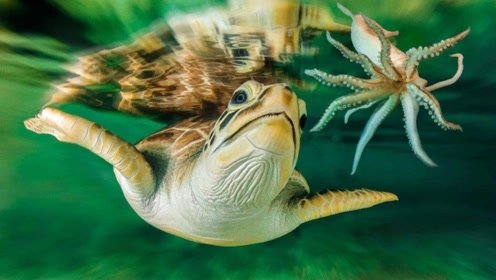 鱿鱼为啥看到人类落水,会拼命把人拖向深海?今天算知道了