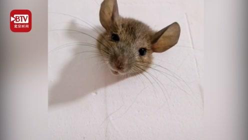 进退两难!老鼠因太胖被卡墙上 发现者:不知道以为是假的