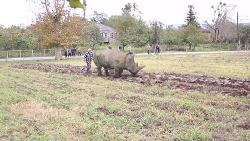 暴躁如犀牛,农名伯伯却用来犁地,好像也没毛病