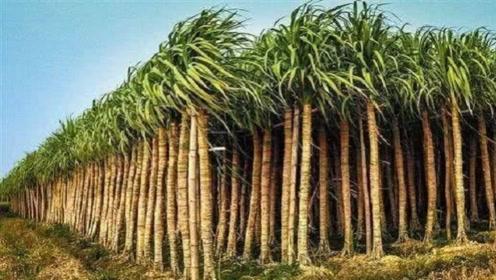 """世界最""""高""""甘蔗,竟有7米多高,吃起来还特方便"""