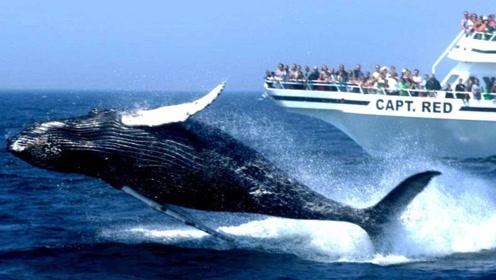 """虎鲸是海洋中的""""小霸主"""",为何座头鲸却喜欢和虎鲸过不去呢?"""