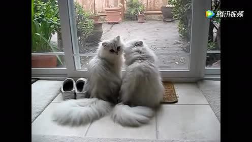 波斯猫母子吃过饭后阳台晒阳光!过的真的很惬意!