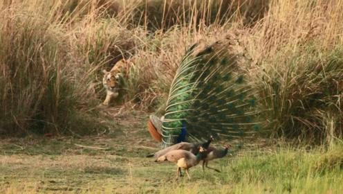 孔雀在山林大叫,吵醒睡觉的老虎,结果老虎直接扑了过来