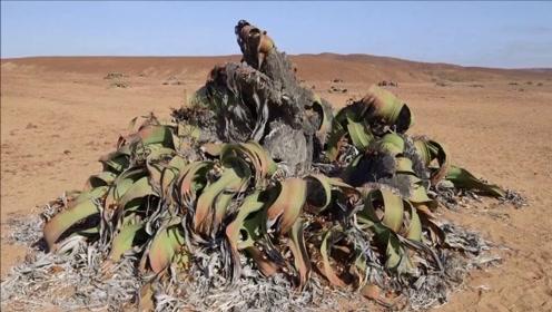 世界上最懒的植物!在沙漠中装死2000年,看起来像枯萎的烂叶子