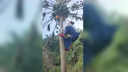 树上熟的木瓜才是最好吃的