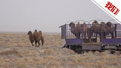 实拍:4峰野骆驼在甘肃敦煌放归 骆驼戴GPS可实时监测活动