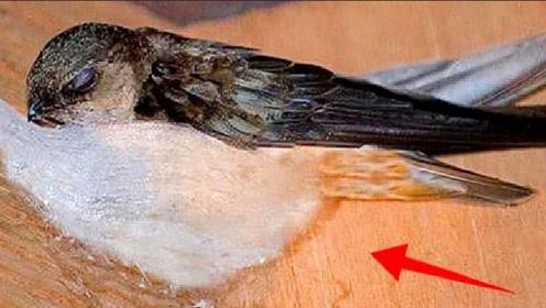 燕窝真是燕子的口水制作的吗?知道真相后,你还敢吃吗?