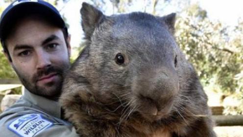 """切尔诺贝利发现""""巨型老鼠"""",体重高达100斤,专家:家猫看了都害怕"""