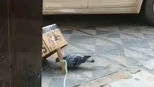 我的操作方法好像不太对,在家门口蹲一天了,一只鸽子都没有抓到!
