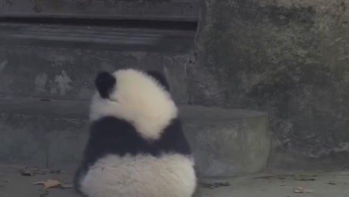 大熊猫成精了,自己拉下闸门谢客,网友:真怀疑是不是人扮的