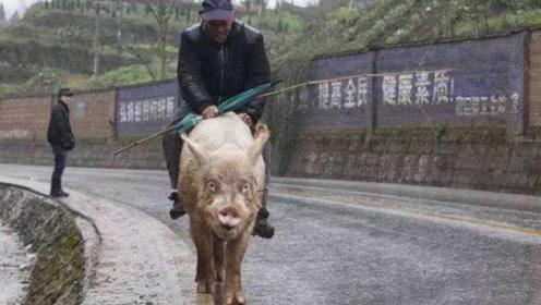 全村最霸气座驾!大爷每天骑着500斤肥猪出门,出价多少都不卖