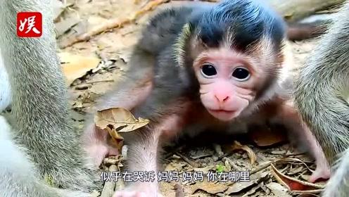 小猴子脐带还未脱落,就被妈妈残忍抛弃!它到底做错了什么?