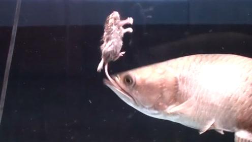 男子把老鼠扔进了鱼缸里,金龙鱼遇到老鼠,结果会怎么样?
