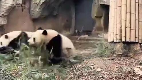 超强求生欲!四川绵阳突发地震,熊猫扔下竹子瞬间上树