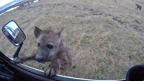 一条可怜兮兮的鬣狗向人求助,男子刚想下车,下一秒意外发生了