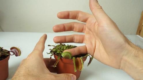 老外大胆实验把手指放在捕蝇草一整天,测试它的消化能力,结果出乎意料!