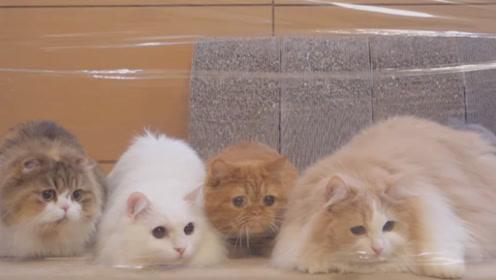 主人用薄膜阻拦猫咪,结果猫咪集体变傻,镜头拍下猫咪搞笑模样