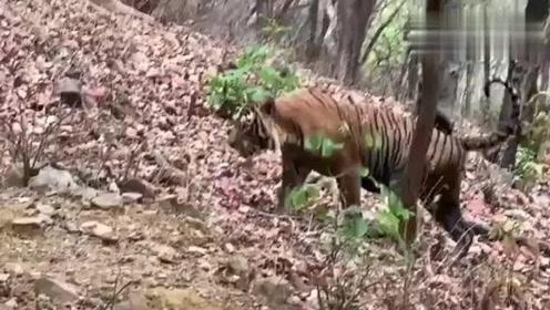 不知道当初武松看到的老虎是不是这样的