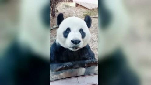 熊眼睛捧红了熊猫!结果却是脸捧红了眼睛,不信你看!