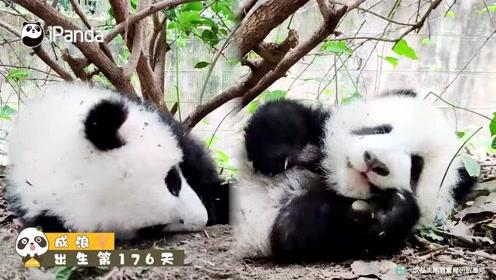 萌化了!熊猫宝宝的撒娇耍赖式求关注