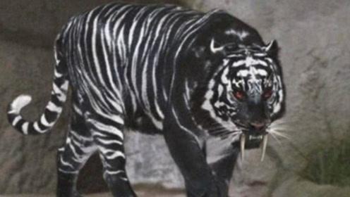 """印度发现罕见""""黑老虎""""?全世界只有一只,网友:墨汁有点多!"""
