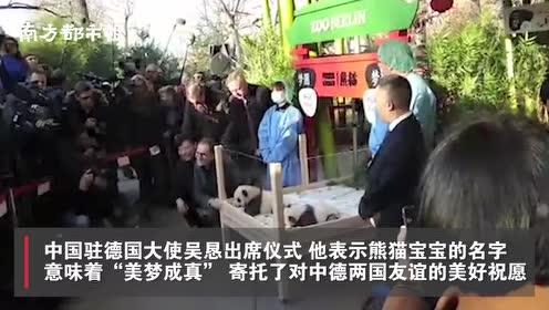 """德国柏林动物园双胞胎熊猫宝宝""""百日"""",取名""""梦想""""和""""梦圆"""""""