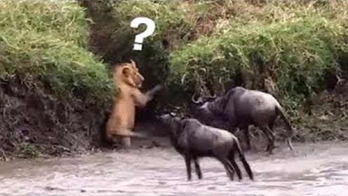 狮子被角马揍得不敢还手,险些摔进水里!这恐怕是史上最窝囊的狮子!